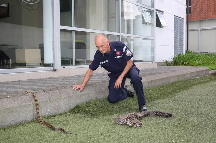 En Guatemala la serpiente más común es la Mazacuata.(Prensa Libre:CBM)