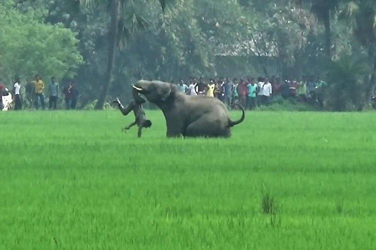 Imagenes de la televisión muestran el momento en el que un hombre es atacado por un enfurecido elefante en Burdwan, Bengala Occidental, India. (Foto Prensa Libre: AFP).