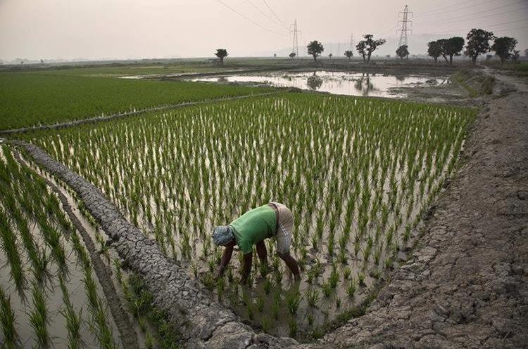 Un agricultor trabaja en su campo de arroz, en Gauhati, India.(AP).