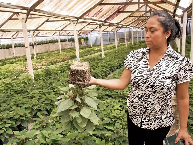 El cultivo en el vivero Flores del Río  se inicia en junio y en  octubre la planta empieza a florecer.