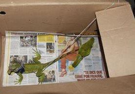 Una iguana y un perico fueron localizados durante una requisa en la cárcel de Puerto Barrios, Izabal. (Foto Prensa Libre: PNC)