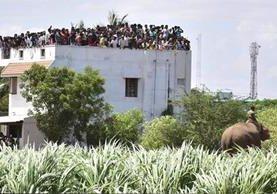 Guardias forestales busca al elefante que mató a cuatro, frente a pobladores aterrados. (Foto Prensa Libre: EFE)