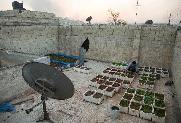 Un sirio cultiva hortalizas en la terraza de una casa en Kalasseh, en Alepo.(AFP).