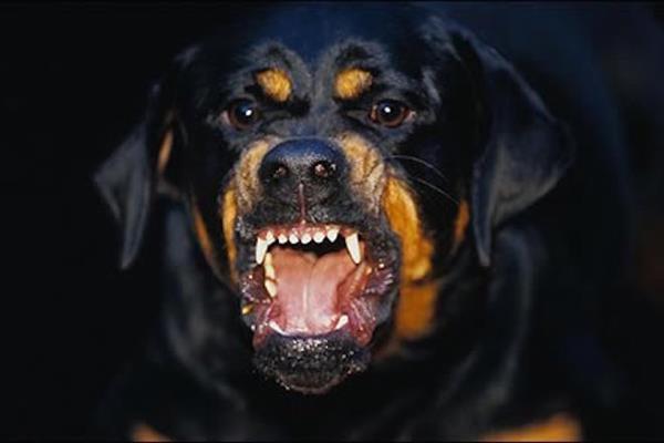 (Imagen de referencia), los rottwailers son de las razas más peligrosas para los humanos. (Foto Prensa Libre: Internet).
