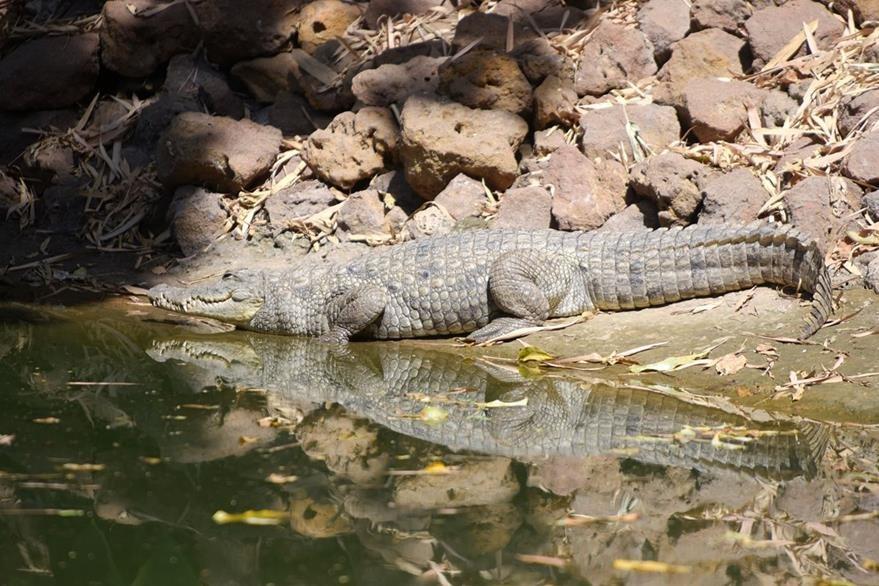 Una especia de cocodrilo en una reserva de Bakau, Gambia. (Foto Prensa Libre: AFP)