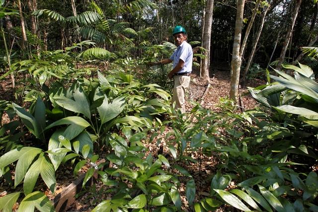 Jorge  Sosa muestra una hoja de xate, cultivada en  la selva de San Andrés, Petén. (Foto Prensa Libre: Paulo Raquec)