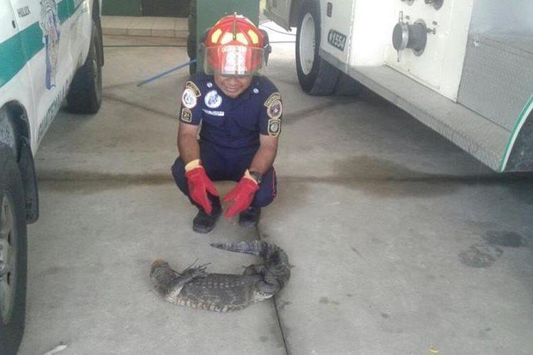 El caimán fue localizado en una de las calles de la colonia Cristo Salvador, La Blanca, San Marcos. (Foto Prensa Libre: cortesía CBMD)