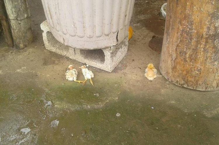Unas 24 aves de corral murieron por las picaduras de las abejas. (Foto Prensa Libre: Víctor Chamalé)