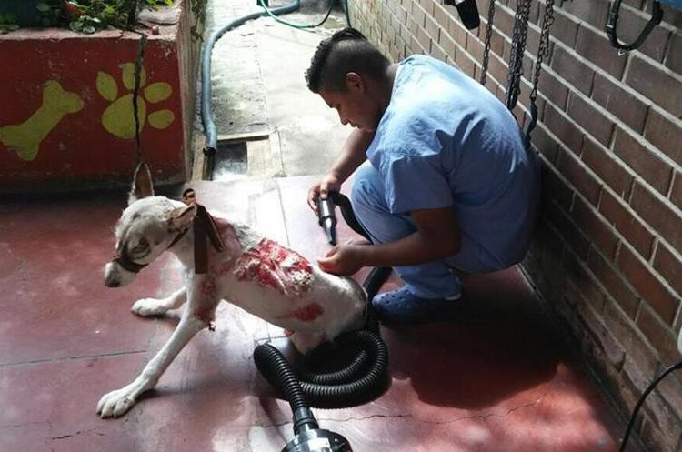 Un enfermero da los cuidados a Locky después del proceso de curación. (Foto Prensa Libre: Unidad de Bienestar Animal del Maga).