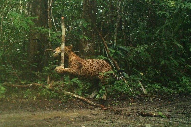 Estudios de la Sociedad para la Conservación de la Vida Silvestres en Petén, revelan que en esta región existen 400 ejemplares de jaguar. (Foto Prensa Libre: Rigoberto Escobar)