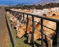 El estiércol del ganado puede producir biogas y biofertilizantes (Hemeroteca PL)