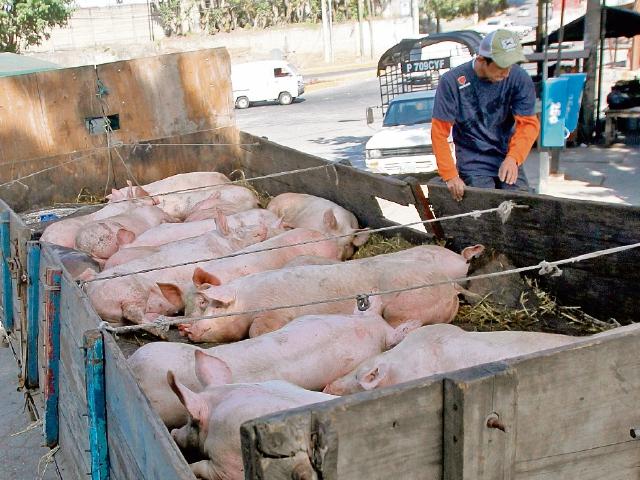 Cerdos del país serán identificados con el objetivo de saber su origen y su paso por toda la cadena de comercialización. (Foto Prensa Libre: Hemeroteca)