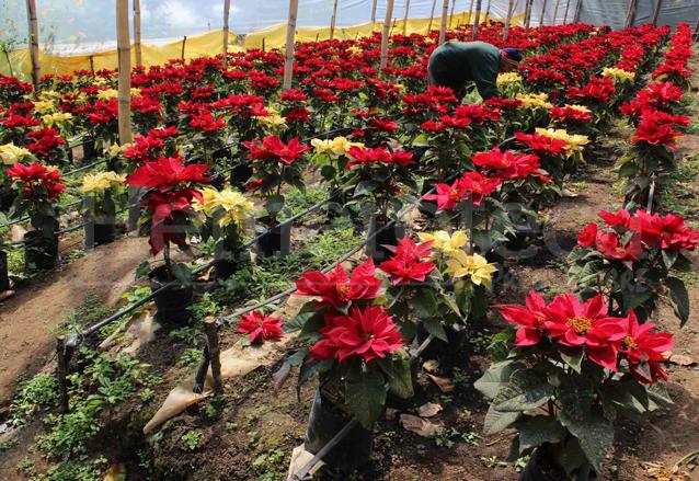 Vivero de pascuas en Guatemala, gran productor de esta flor. (Foto: Hemeroteca PL)