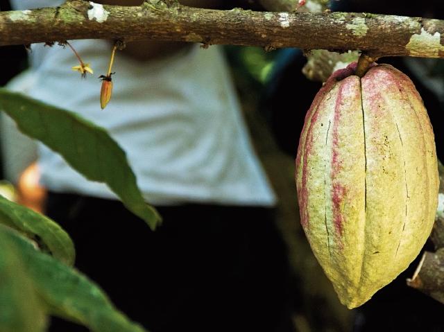 El grano nacional posee calidad y origen, pero apenas figura en las estadísticas del mundo del cacao con un 0.03%. (Foto Prensa Libre: FAO)