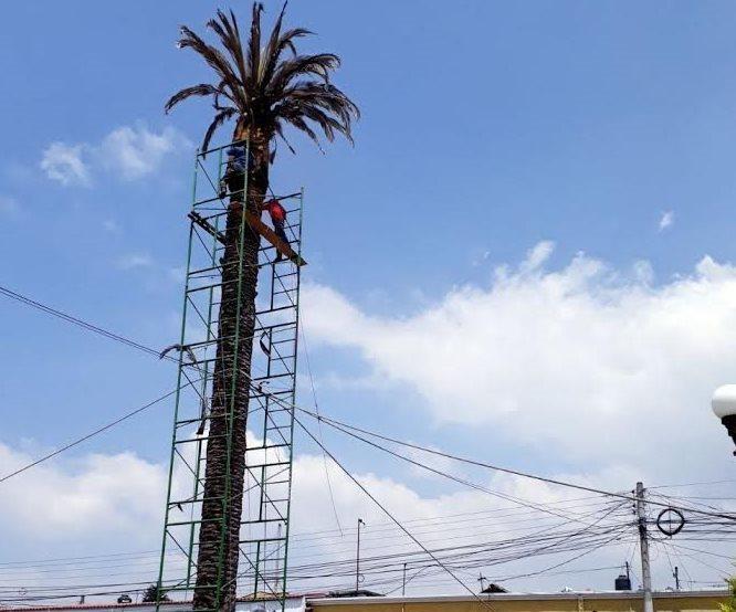 La palmera canaria de Salcajá fue derribada porque representa peligro. (Foto Prensa Libre: Fred Rivera)