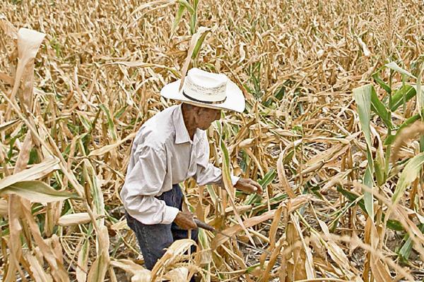 Las cosechas de maíz fueron afectadas por la falta de lluvia. (Foto Prensa Libre: Hemeroteca PL)
