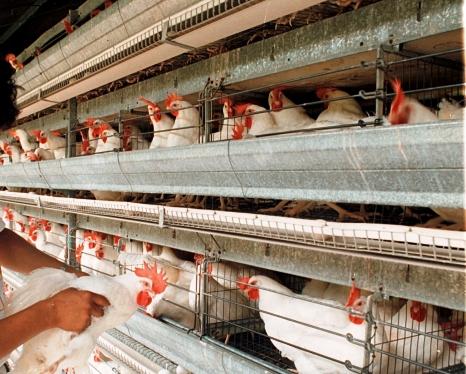 Nicaragua espera una buena producción de huevos.
