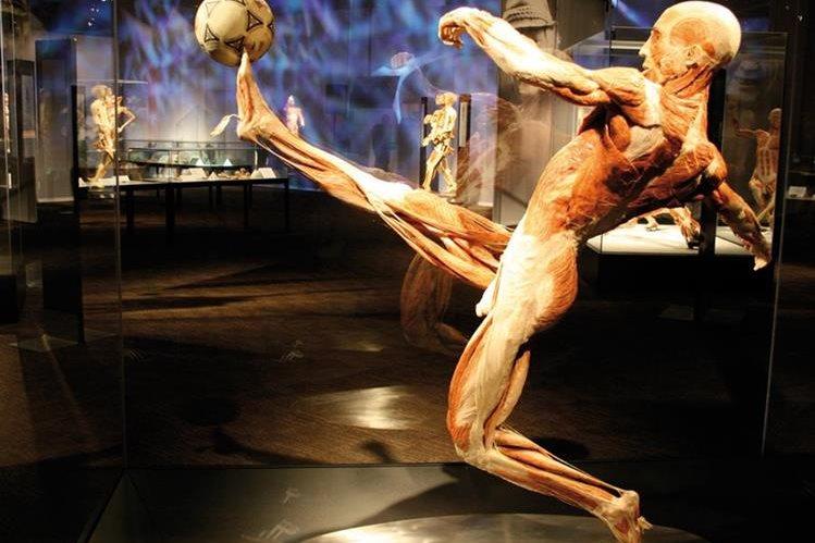 Las poses de los cuerpos ofrece una perspectiva de toda la musculatura. (Foto Prensa Libre: Cortesía Body Worlds)