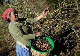 Expertos consideran que este año  podría darse una recuperación del precio internacional del café. (Fotografía Prensa Libre: Hemeroteca PL)