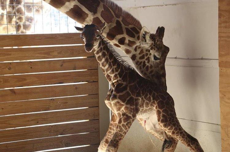 El nacimiento fue visto por miles de internautas. (Foto Prensa Libre: AP)