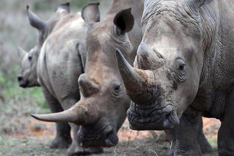 Los olores de la materia fecal en rinocerontes transmiten información clave, incluyendo edad, sexo y disponibilidad para el apareamiento.