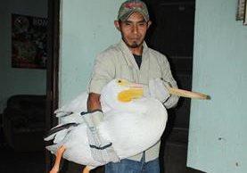 Uno de los pelícanos rescatados es cuidado por un experto. (Foto Prensa Libre: Miguel López).