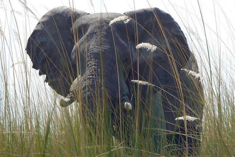 Los elefantes africanos son el animal terrestre más grande y hay evidencias científicas que sugieren que los mamíferos de mayor tamaño tienden a dormir menos. (Fotos Prensa Libre, AFP y AP)