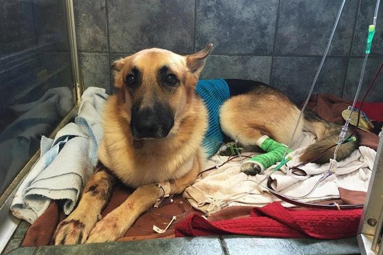 Haus, se recupera en un hospital veterinario de Tampa, no obstante los médicos luchan porque el veneno no afecte su calidad de vida. (Foto Prensa Libre: AP).