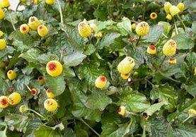 El Jambu es un ejemplo de plantas no convencionales que se encuentran en las Amazonas de Brasil. (Foto Prensa Libre: www.eatrio.net)