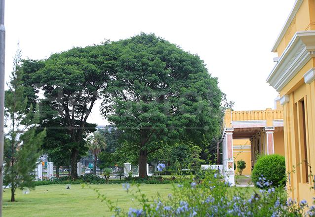 Ceiba que se encuentra a un costado del Ministerio de Educación, zona 10. (Foto: Hemeroteca PL)