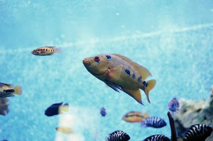 El estudio se realizó con un acuario de 550 mil  litros de agua en el Acuario Marino Nacional de Plymouth, Reino Unido.  (Hemeroteca Prensa Libre)