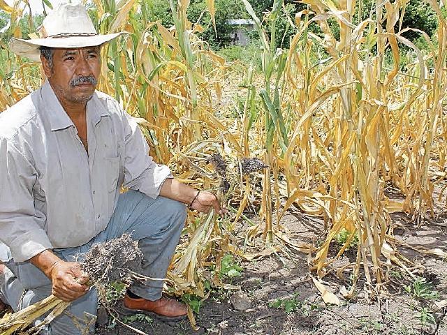 Un Agricultor de Santa Rosa muestra los daños en sus cultivos por el cambio climático. (Foto Prensa Libre: Oswaldo Cardona)