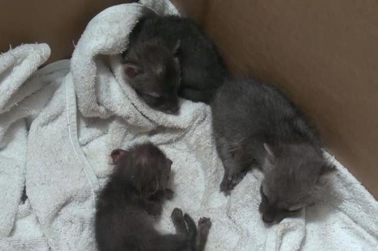 Los tres cachorros de zorro gris quedaron en la orfandad a consecuencia de quema ilegal. (Foto Prensa Libre: MARN de El Salvador)