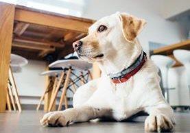 Los perros pueden identificar ciertos elementos visuales para comprender a los humanos (Foto Prensa Libre: Archivo).