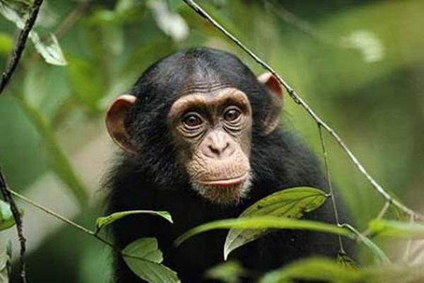 <p>Los chimpancés y orangutanes cautivos presentan el mismo tipo de depresión.</p>