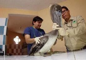 Expertos evalúan al ave. (Foto Prensa Libre: Conap)