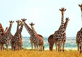 Las jirafas se encuentran en peligro de extinción. (AFP).