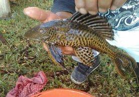 Un espécimen del pez conocido como gato, pleco o diablo fue hallado en el Lago de Atitlán. (Foto Prensa Libre: Angel Juajuj)