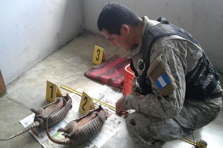 Un oficial de Diprona examina a los dos armadillos decomisados. (Foto Prensa Libre: Rigoberto Escobar)