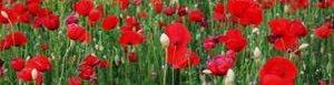 Apoyan cultivo de amapola