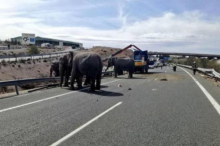 En autopista de España, vuelca tráiler con 5 elefantes