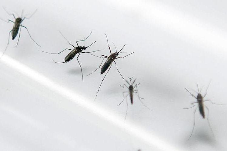 El mosquito Aedes Aegypti, el mismo que transmite el dengue y la chikungunya.