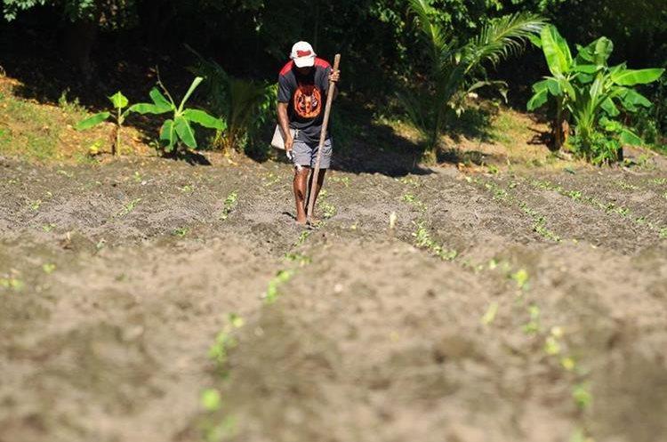 Un vecino de la cuenca fertiliza su cosecha de tabaco.