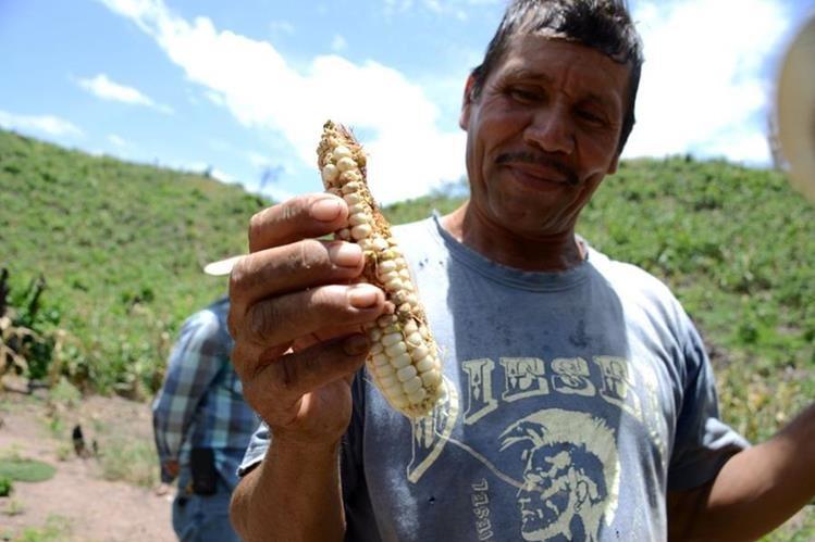 Plutarco Castellanos muestra el daño que la sequía y plagas han causado a la cosecha. (Foto Prensa Libre: AFP).