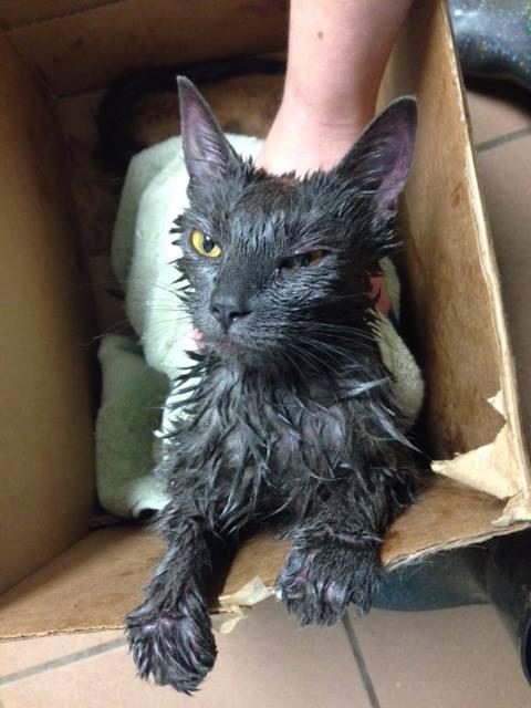 Así fue hallado el gato, hubo que raparlo para evitarle más daños en la piel. (Foto Prensa Libre: Humane Pennsylvania)