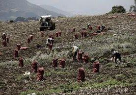 Agricultores de Costa Rica trabajan en una plantación al este de la capital del país. (Foto Prensa Libre: EFE).