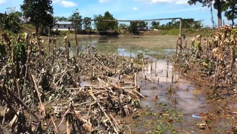 Las pérdidas de maíz son millonarias, según el alcalde de Ixcán, Saúl Gutiérrez. (Foto: Guatevisión)