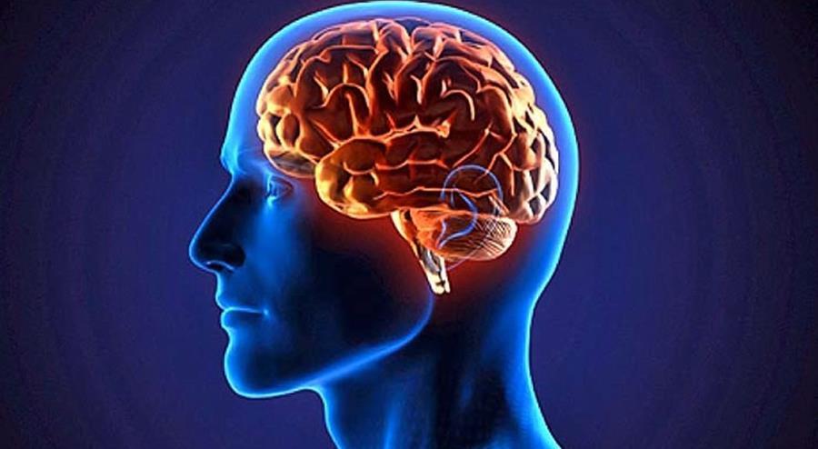 La estructura del cerebro, elaborada con un gel elastómero rosa pálido, se basó en imágenes de cerebros de fetos humanos.