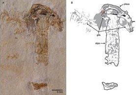Imagen del extraño fósil de 115 millones de año. (Foto de la revista PLoS One).