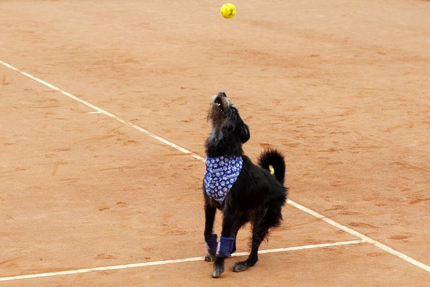 Un perro entrenado recoge pelotas de tenis hoy, sábado 4 de marzo de 2017, durante un evento de exhibición con objetivo de promover la adopción de animales callejeros. (Foto Prensa Libre: EFE)
